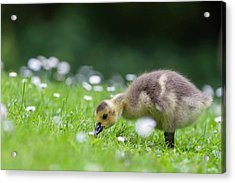 Europe, Germany, Bavaria, Canada Goose Acrylic Print by Westend61