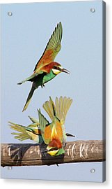 European Bee-eaters Acrylic Print