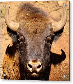 European Bisons Acrylic Print by Tommytechno Sweden