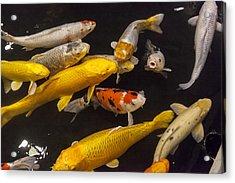 European Carp  Acrylic Print by Colin Monteath