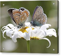 European Common Blue Butterflies Acrylic Print