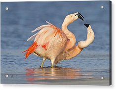 European Flamingo Pair Courting Acrylic Print by Ronald Kamphius
