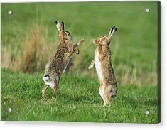 European Hares In March Acrylic Print