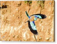 European Roller (coracias Garrulus) Acrylic Print by Photostock-israel