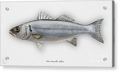 European Seabass Dicentrarchus Labrax - Bar Commun - Loup De Mer - Lubina - Havabor - Seafood Art Acrylic Print by Urft Valley Art