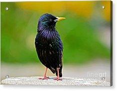 European Starling At Monterey Acrylic Print by Susan Wiedmann