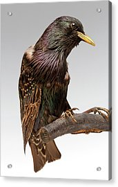 European Starling Acrylic Print by Ucl, Grant Museum Of Zoology