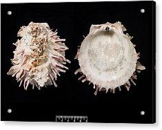 European Thorny Oyster Acrylic Print