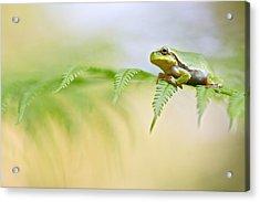 European Tree Frog Acrylic Print