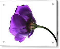 Eustoma Grandiflorum. Acrylic Print