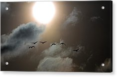 Evening Flight Acrylic Print
