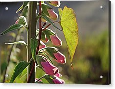 Acrylic Print featuring the photograph Evening Foxglove by Adria Trail