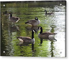 Evening Geese Gathering Acrylic Print