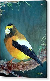 Evening Grosbeak Acrylic Print