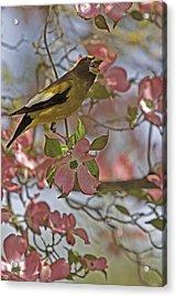 Evening Grosbeak Acrylic Print by Judi Baker