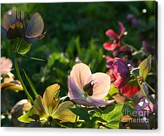 Acrylic Print featuring the photograph Evening Light by Liz  Alderdice
