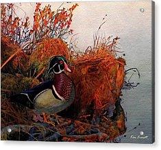 Evening Light Wood Duck Acrylic Print by Ken Everett