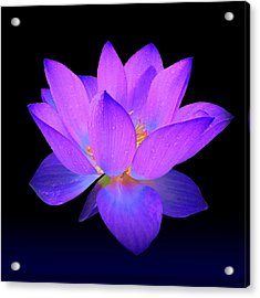 Evening Purple Lotus  Acrylic Print