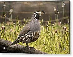 Evening Quail Acrylic Print by Melisa Meyers