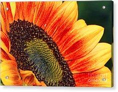 Evening Sun Sunflower Acrylic Print by Sharon Talson