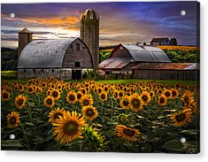 Evening Sunflowers Acrylic Print