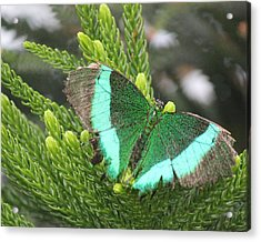 Acrylic Print featuring the photograph Ever Green Butterfly by Bill Woodstock