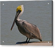 Everglades Brown Pelican Acrylic Print by Kathleen Scanlan