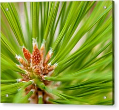 Evergreen 001 Acrylic Print