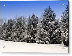Evergreen Trees In Winter Acrylic Print