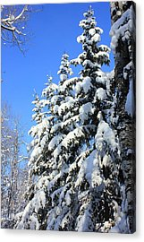 Evergreen Trees In Winter Acrylic Print by Jim Sauchyn