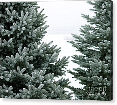Evergreens Acrylic Print