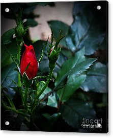 Every Rose Has A Thorn Acrylic Print by Jinx Farmer