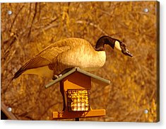 Everything Was Fine At The Bird Cafe Til Gordon The Goose Made A Pig Out Of Himself Acrylic Print by Jeff Swan