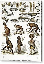 Evolution Chart Acrylic Print by Granger