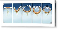 Evolution Of The Eye, Artwork Acrylic Print by Science Photo Library