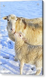 Ewe And Winter Lamb Acrylic Print by Thomas R Fletcher