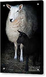 Ewe With Newborn Lamb Acrylic Print by Stephanie Frey
