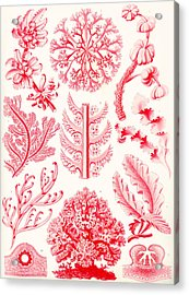 Examples Of Florideae From Kunstformen Der Natur Acrylic Print by Ernst Haeckel