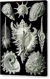 Assorted Sea Shells Acrylic Print