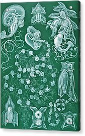 Examples Of Siphonophorae Acrylic Print by Ernst Haeckel