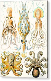Examples Of Various Cephalopods Acrylic Print by Ernst Haeckel