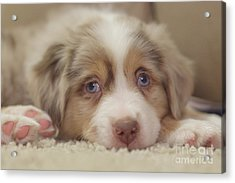Exhausting Being A Puppy Acrylic Print by Kay Pickens