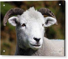 Exmoor Horn Sheep Acrylic Print by Terri Waters