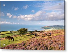 Exmoor Ponies Graze On Heather Covered Acrylic Print