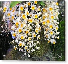 Exotic Aerides Acrylic Print