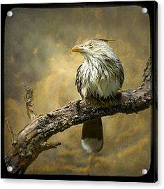 Exotic Bird - Guira Cuckoo Bird Acrylic Print