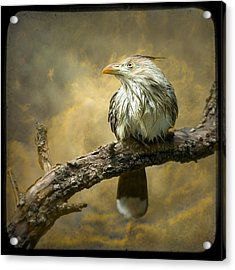 Exotic Bird - Guira Cuckoo Bird Acrylic Print by Gary Heller