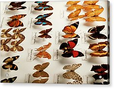 Exotic Butterfly Collection Acrylic Print by Mauro Fermariello/science Photo Library