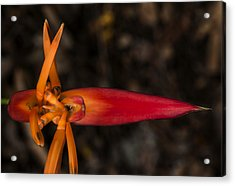Exotic Heliconia Acrylic Print by Steven Sparks