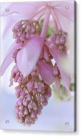 Exotic Malaysian Orchid Acrylic Print